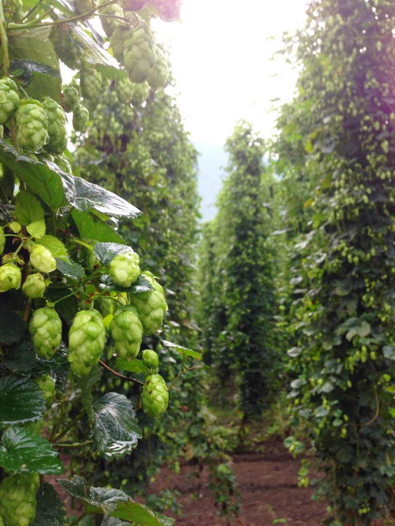 Willamette was an obscure hop before A-B started using it in Bud and Bud Light