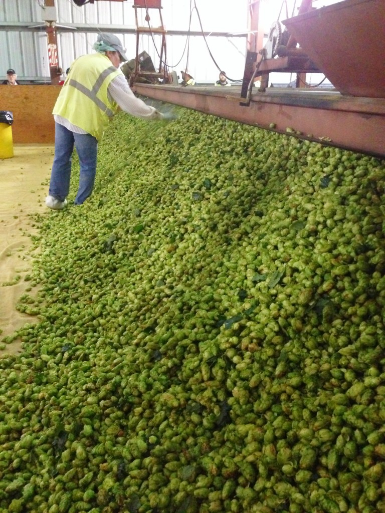 kilning is still done by hand. hops are spread of a mesh floor  where heat is applied